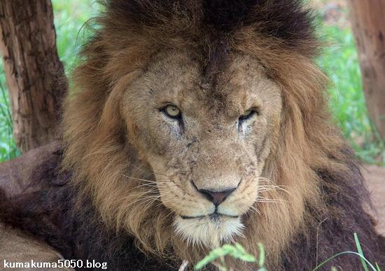 ライオン_1153