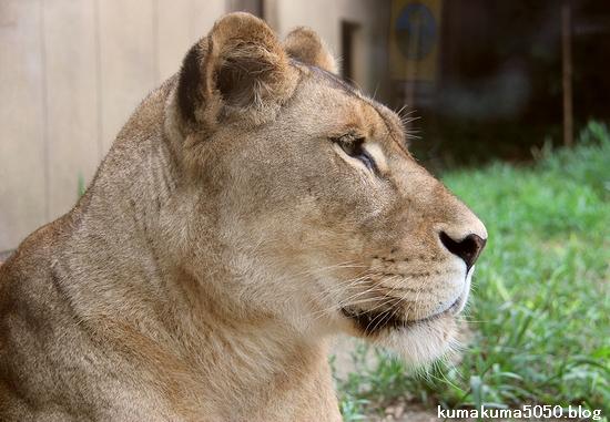 ライオン_1159