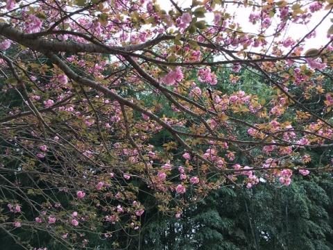 桜②IMG_0191