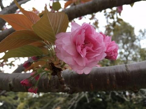 桜②IMG_0200