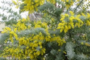 黄花、たわわに