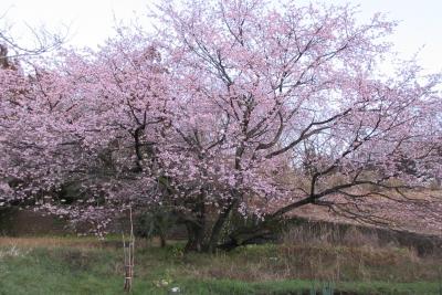 大きな桜の木・花