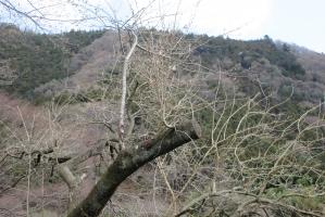 飯山の桜の切られた枝