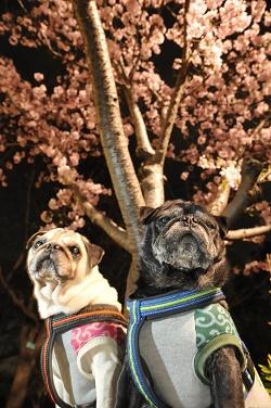 どんぶり・せいろ親子 桜の木の下で