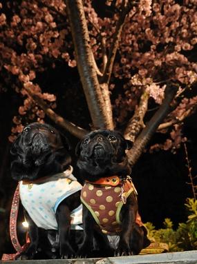 りき・なめ桜の木の下で