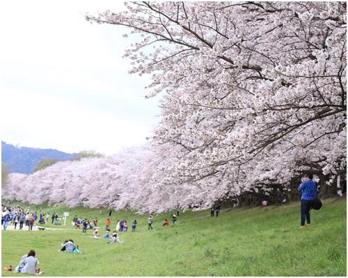 背割りの桜2