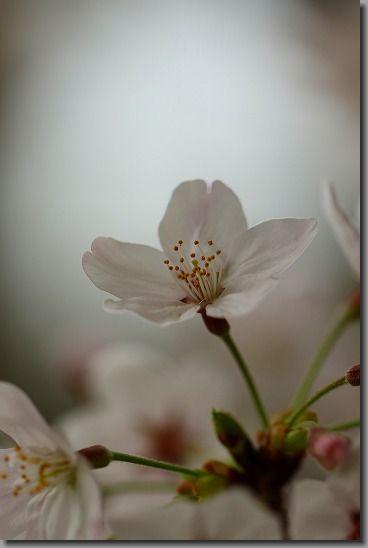 160402桜 025