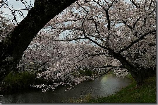 160402犬山祭・桜 067