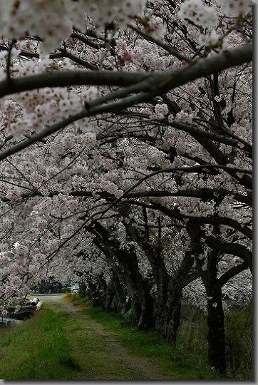 160402犬山祭・桜 068