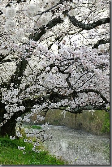 160402犬山祭・桜 091