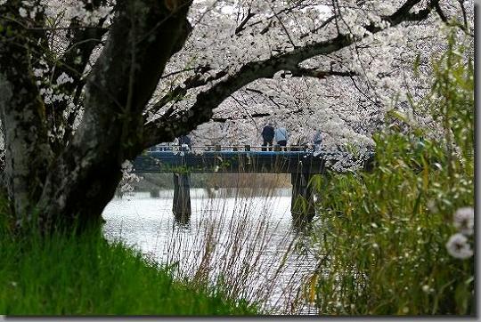 160402犬山祭・桜 104