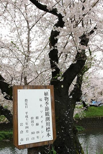 160403岩倉・名古屋城桜 004