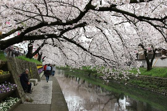 160403岩倉・名古屋城桜 022