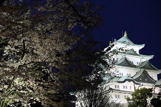160403岩倉・名古屋城桜 059