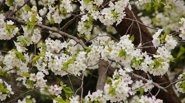 160402桜祭り③