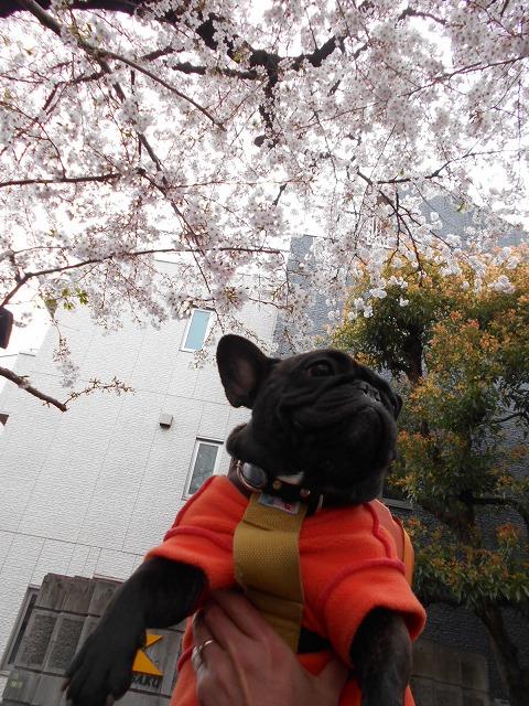 160402桜祭り⑳5