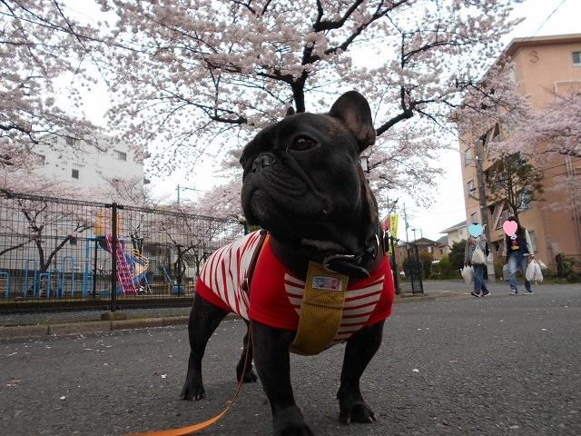 160403芦花公園お花見⑩