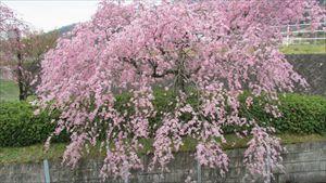 公園桜_R