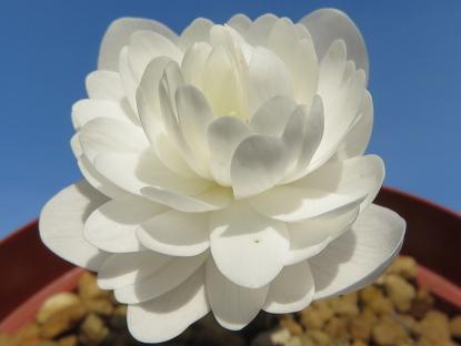 4/8 八重咲きカナダケシカナダケシ(サンギナリア・カナデンシス)