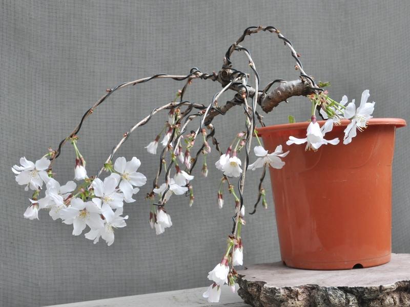 枝垂れ桜1603302