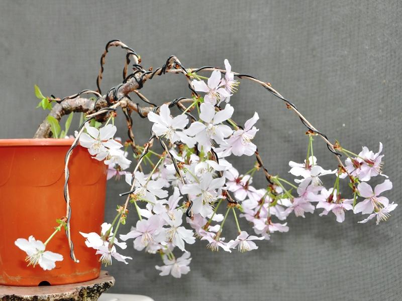枝垂れ桜1604042