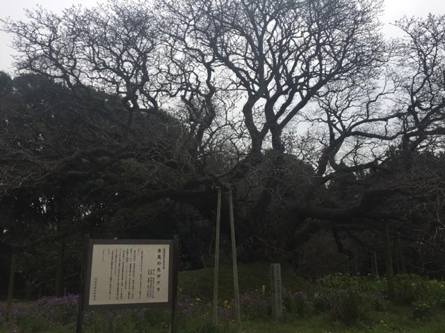 吉高の大桜1