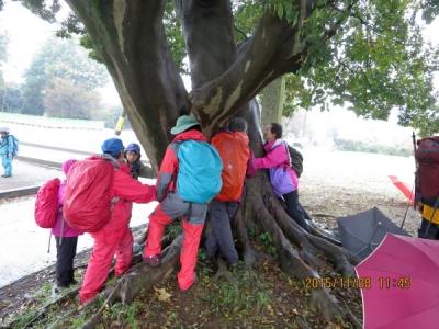 エノ木の大木