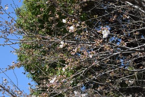 280321 桜開花1