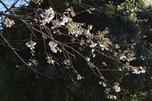 280321 桜開花2