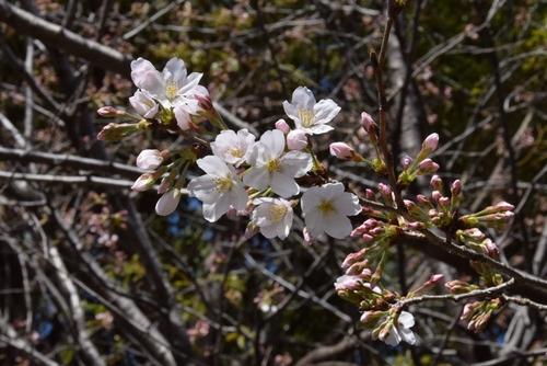 280321 桜開花3