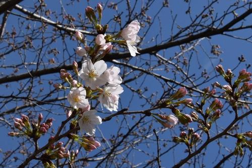 280321 桜開花4