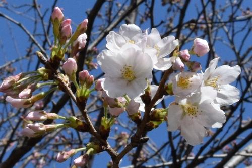 280321 桜開花8