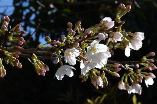 280321 桜開花10-1