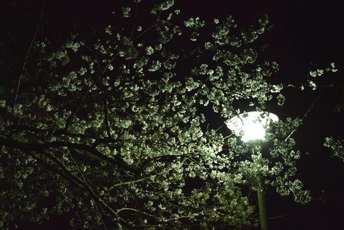 280323 夜桜1