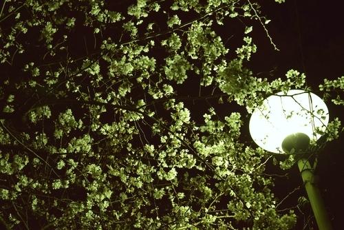 280323 夜桜2