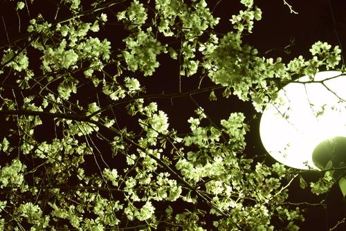 280323 夜桜3
