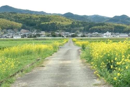 280325 菜の花道5