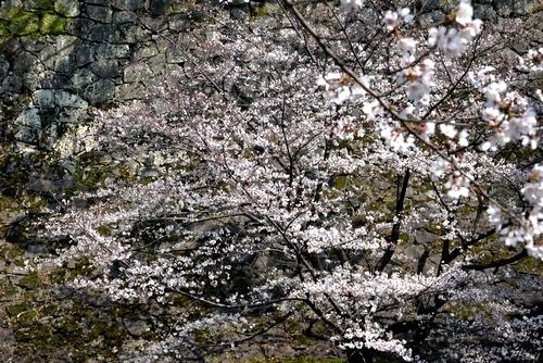 280328 桜2