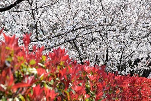 280328 桜3