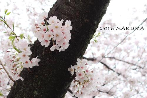2016 sakura