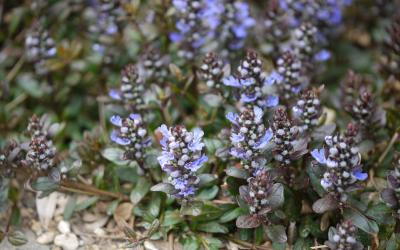 Ajuga tenorii Chocolate Chip