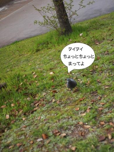 花見中にカツアゲに来た鳩