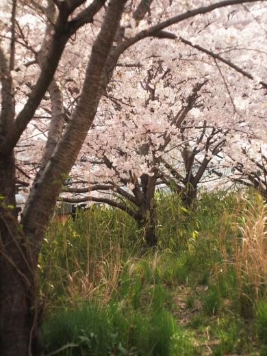 福岡市東区の桜20160402