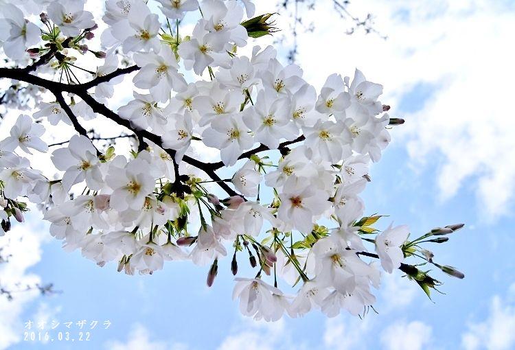 オオシマ桜1