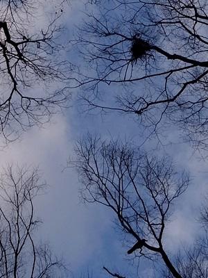 鳥の巣とカラス②1603