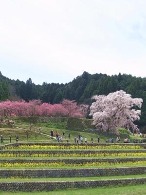又兵衛桜遠景1604