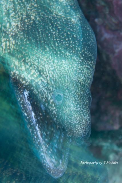 伊豆海洋公園のウツボ