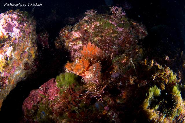伊豆海洋公園のナミダカサゴ