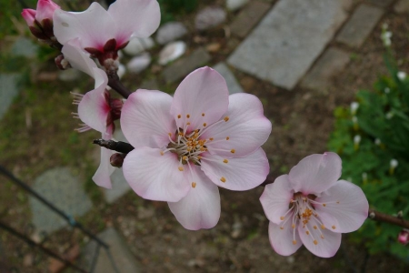 アーモンドの花