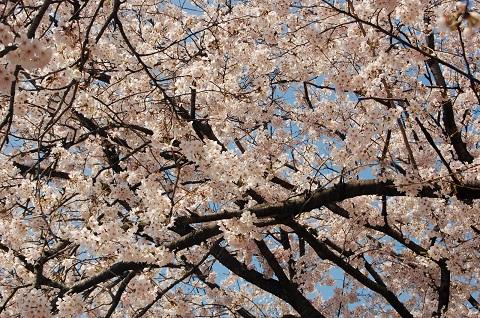 160325 桜の樹